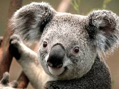 Close up of Koala bear